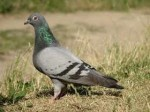 гледане на кафе птици гълъб