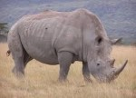 фигурата на носорог при гледане на кафе