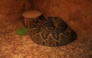 съновник навита змия