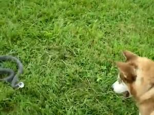 съновник змия и куче