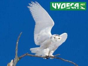 Бели сови - 2