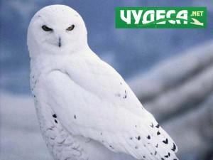 Бяла сова. Красива работа!
