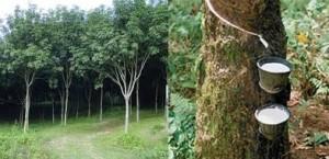 Извличането на сок от каучуково дърво е било познато на древните маи
