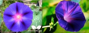 Растението утринна слава се използвало от древните маи в тяхната технология за получаване на изделия от каучук