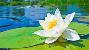 зодия рак любимо цвете