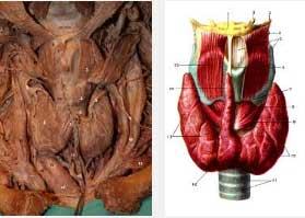 импулсна терапия и зелени орехчета за щитовидна жлеза - 02
