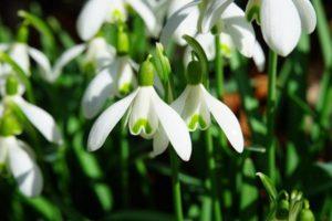 Красивите кокичета – предвестници на пролетта и лек за много болести.