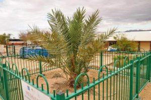 Юдейска финикова палма в Кетура, Израел, поникнала от откритите древни семена.