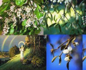 Белият имел е известен в народните традиции.