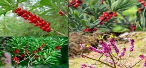 Растението див люляк e известно и с имената обикновено бясно дърво, вълча жила или вълча ягода (Daphne mezereum).