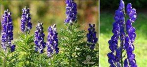 Красивият аконит – отровно цвете или билка против стрес и рак. На снимката Aconitum napellus.