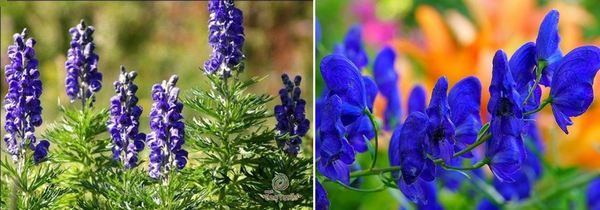 Аконит - Aconitum napellus и Ерантус зимен аконит - Eranthis Hyemalis - Winter Aconite
