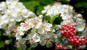 Лечебното растение глог е много полезно за сърцето, при високо кръвно и висок холестрерол и за зрението
