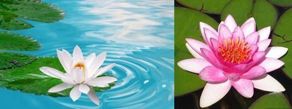 Красивата водна лилия се използва предимно като декоративно растение, но притежава и някои ползи за здравето