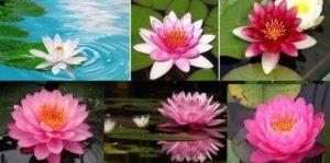 Приложения и полезни свойства на красивата водна лилия за лечебни цели и какви противопоказания има при нейната употреба