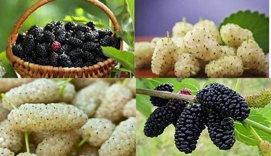 Благоприятните свойства на плодовете на черната и бялата черница, богати на хранителни вещества, са много полезни за здравето