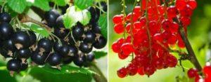 Червеното и черното френско грозде освен, че са с приятен вкус, но са и невероятно полезин за тялото – плодовете са склад за витамини и други полезни вещества
