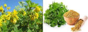 Подправката сминдух е лечебно растение с безброй полезни свойства