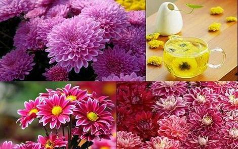 Красивите хризантеми се използват и за здравето като билка