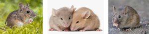 съновник мишка, мишки, плъхове