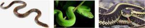 съновник змия, змии, питон