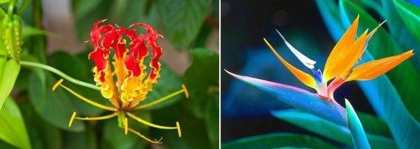 Сановник - екзотични цветя – райска птица