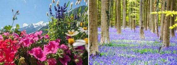 съновник цветя, полски