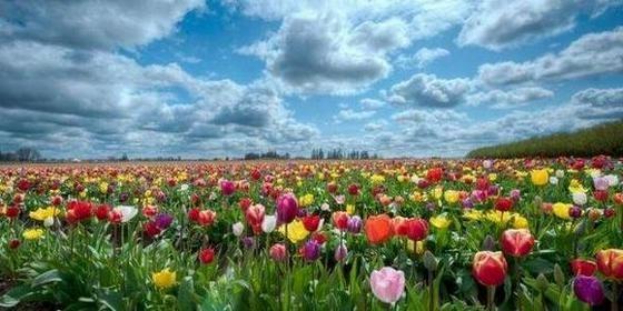 съновник цветя, поле с лалета