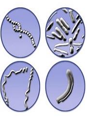 бактерии, полезни бактерии, патогенни бактерии, видове бактерии, аеробни бактерии, анаеробни бактерии