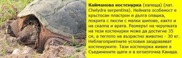 Кайманова (или хапеща) костенурка (Shelydra serrentina ) живее в САЩ и югоизточната част на Канада.