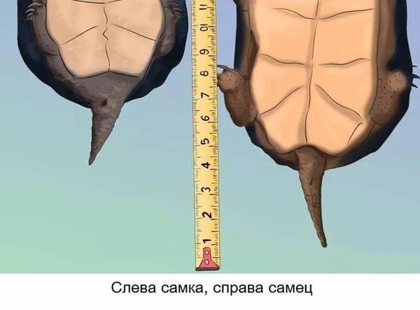 костенурка пол