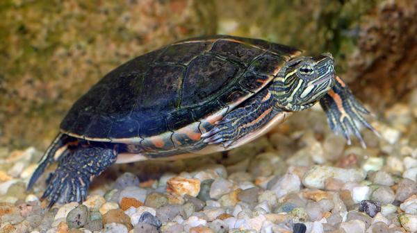 Петниста костенурка (цветна костенурка) (лат. Chrysemys picta).