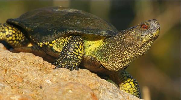 Европейската блатна костенурка с научно название Emys orbicularis
