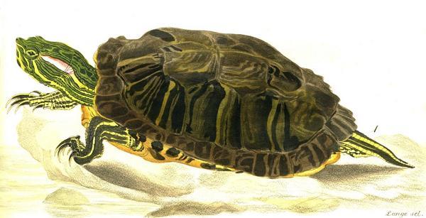 Червеноуха (жълтокоремна костенурка) - Trachemys scripta