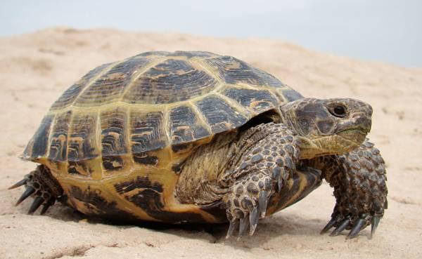 Животът на костенурката в естествени условия може да достигне 180-250 години.