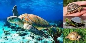 Зелена морска костенурка (латински Chelonia mydas). Теглото на този вид морска костенурка варира от 70 до 450 кг, а размерът на черупката е от 80 до 150 см.