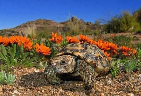Кафявата костенурка (лат. Homopus Signatus) е най-малката в света костенурка.