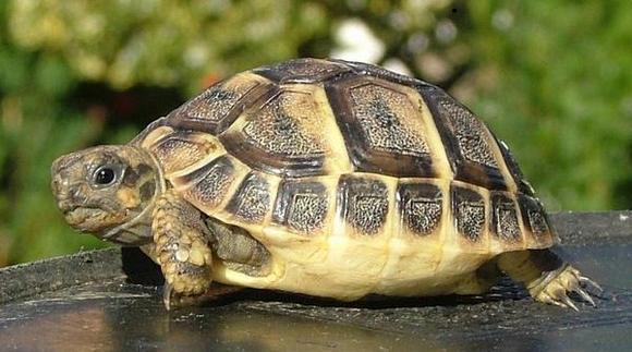 Шипоопашата костенурка.
