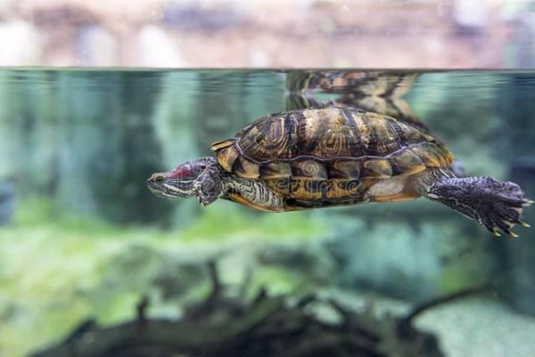 костенурка отглеждане в домашни условия