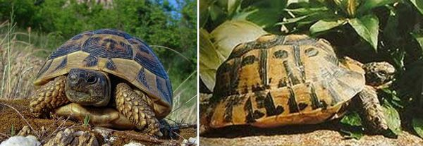 Шипобедрена сухоземна костенурка/