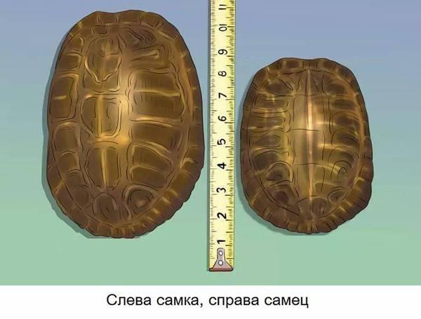 костенурка размер пол