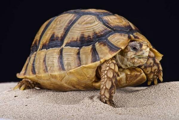 Египетската костенурка (лат. Testudo kleinmanni)