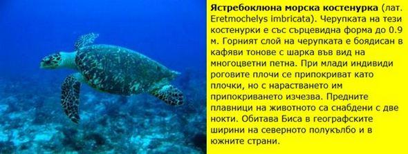 Ястребоклюна морска костенурка (лат. Eretmochelys imbricata).