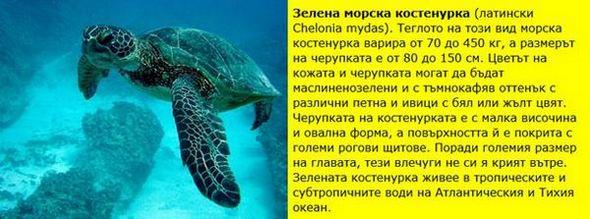 Зелена морска костенурка (Chelonia mydas).