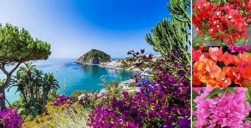 Бугенвилия – красиво цвете от тропика