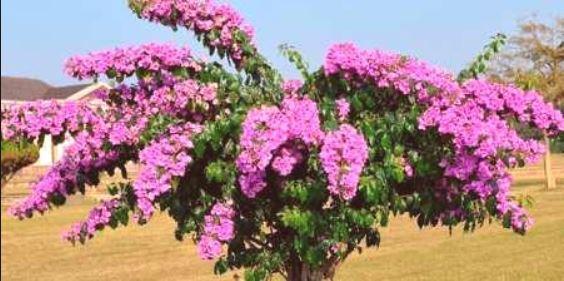 Бугенвилия перуанска - Bugenviliya Peruviana