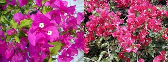 Бугенвилия прекрасна - Bugenviliya Spectabilis