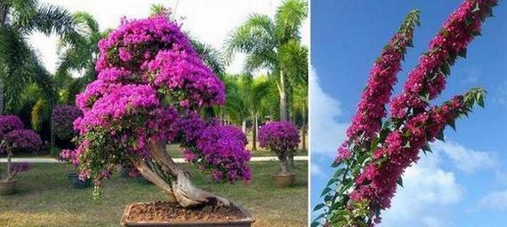 Бугенвилия Перуанска - Bugenviliya Peruviana и Бугенвилия бонсаи