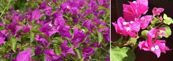 Бугенвилия хибридни сортове – Bugenvillia Sanderiana и Bugenvilliya Vera Deep Purple