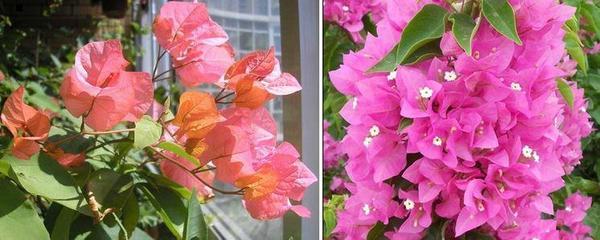 Бугенвилия хибридни сортове - Bois De Roses и bougainvillea Double Pink